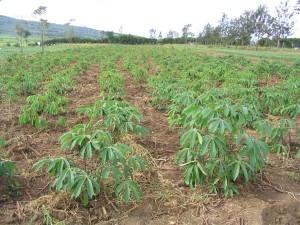 Le manioc, une plante méconnue.