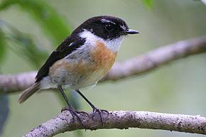Les oiseaux de La Réunion : le Tec-tec