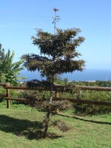 Un arbre endémique de Réunion et Maurice...
