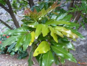 A la découverte de quelques plantes endémiques des Mascareignes, le bois de gaulette