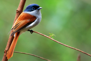 Les oiseaux de La Réunion : l'Oiseau-la-vierge