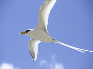 Les oiseaux de La Réunion : le Paille-en-queue